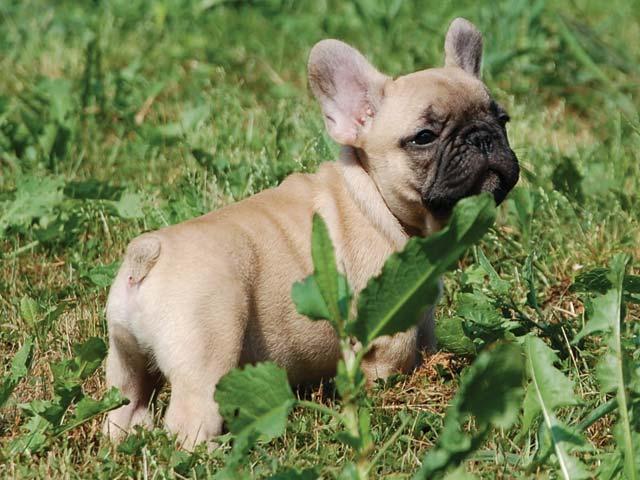 Bebop cucciolo fulvo allevamento bouledogue francese for Piccolo in francese