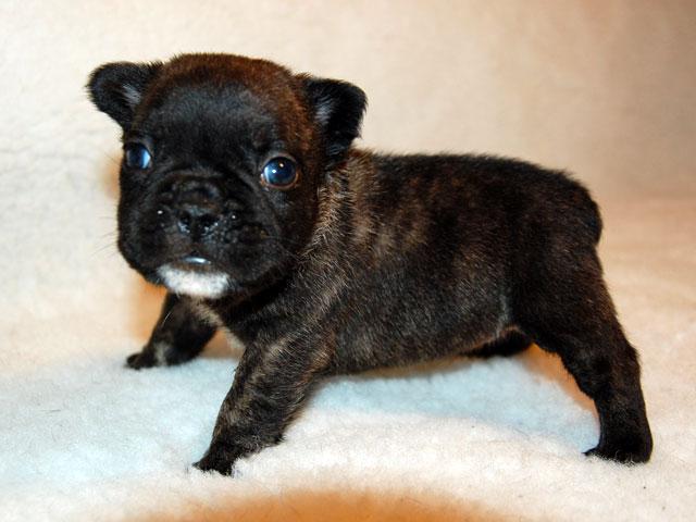 Cucciola Bringee di Bouledogue Francese