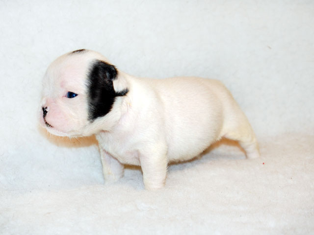 Cucciolo di Bouledogue Francese Caille