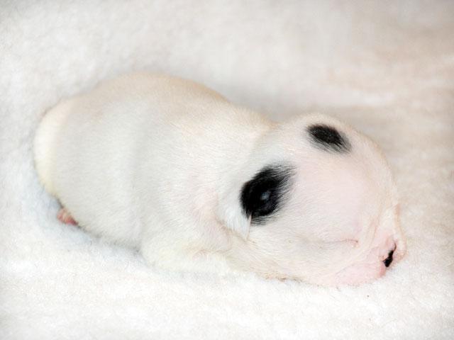 Cucciolo Caille