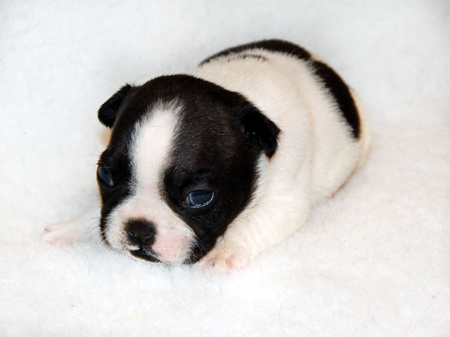 Cucciolo Caille Bianco e Nero