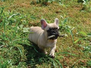 cucciolo di bouledogue francese fulvo