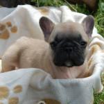 Bebop – Cucciolo Fulvo