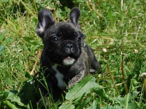 Ivy – Cucciola Bringee