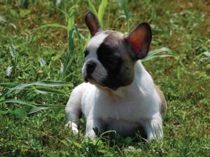 Cucciolo di Bulldog Francese Caille Bianco e Fulvo