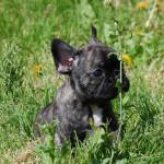 Dark Shadow – Cucciolo Bringee